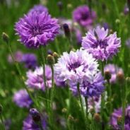 Cornflower Mauve Ball - Appx 1100 seeds